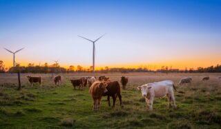 cows wind farm energy
